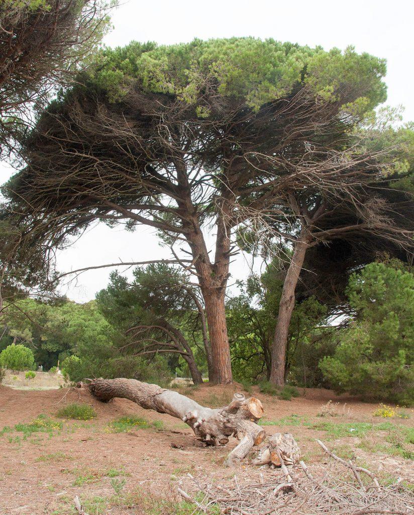 'Pinus is mijn favoriete conifeer'