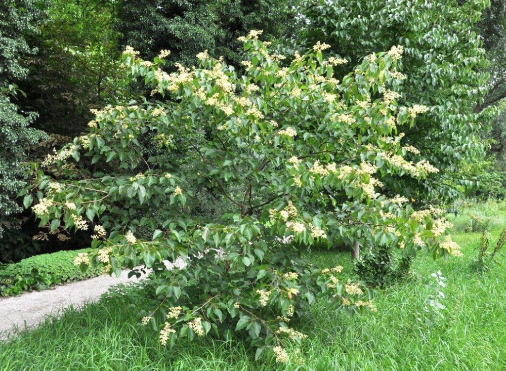 <em>Poliothyrsis sinensis</em> in bloei