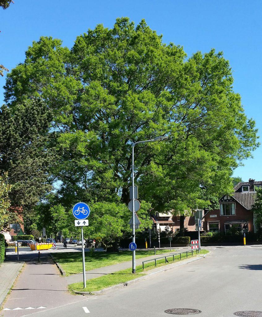 <i>Quercus</i> ×<i>schochiana</i> is een opvallende verschijning in het straatbeeld