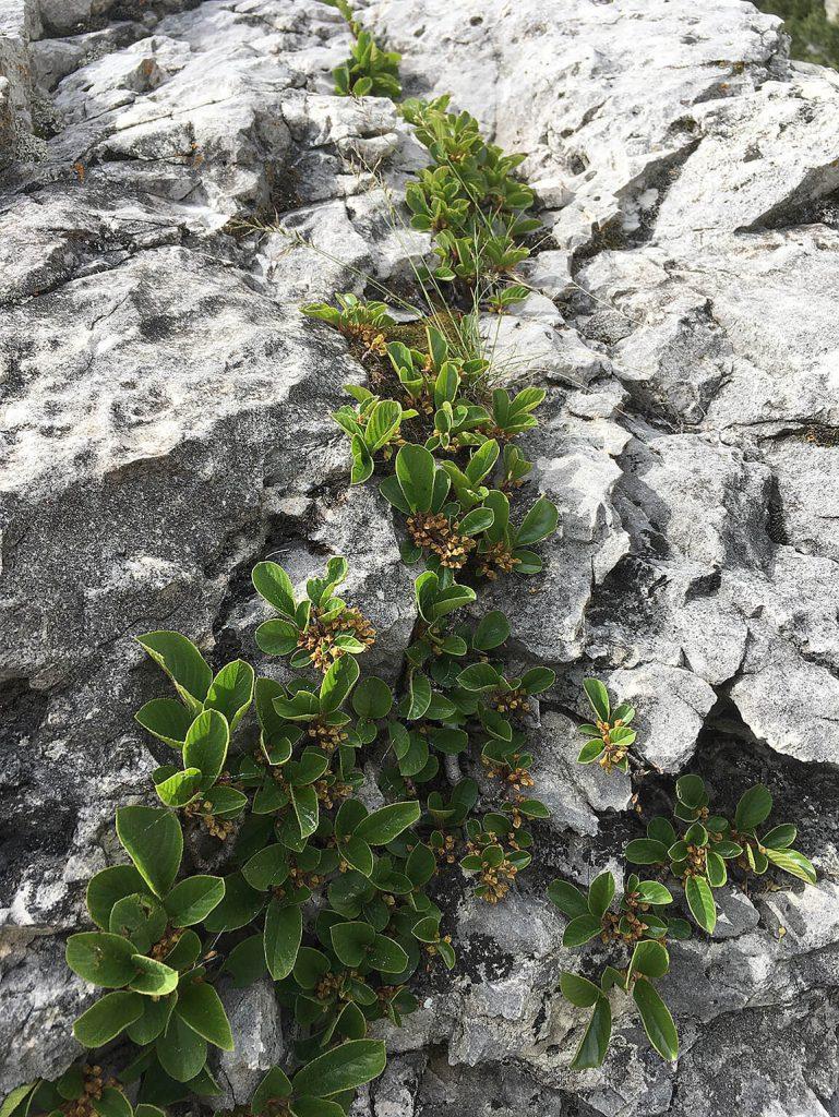 <em>Rhamnus pumilus</em> in de Zuid-Tiroler Alpen