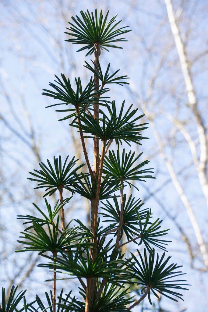 <em>Sciadopitys verticillata</em> 'Sternschnuppe', een cultivar