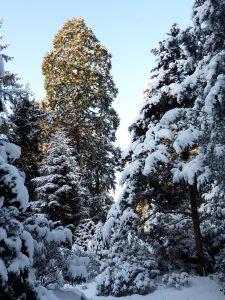 <i>Sequoiadendron giganteum</i> in de sneeuw<br>Foto: Hans van Roon