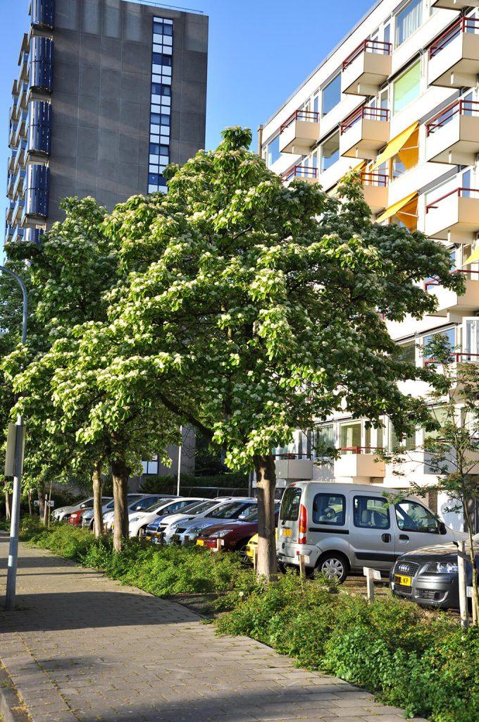 <i>Sorbus aria</i> 'Majestica' wordt <i>Aria edulis</i> 'Majestica'