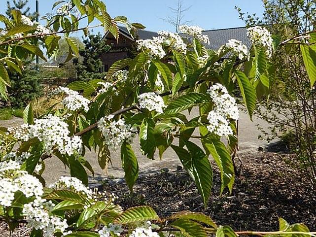 <i>Sorbus caloneura</i>
