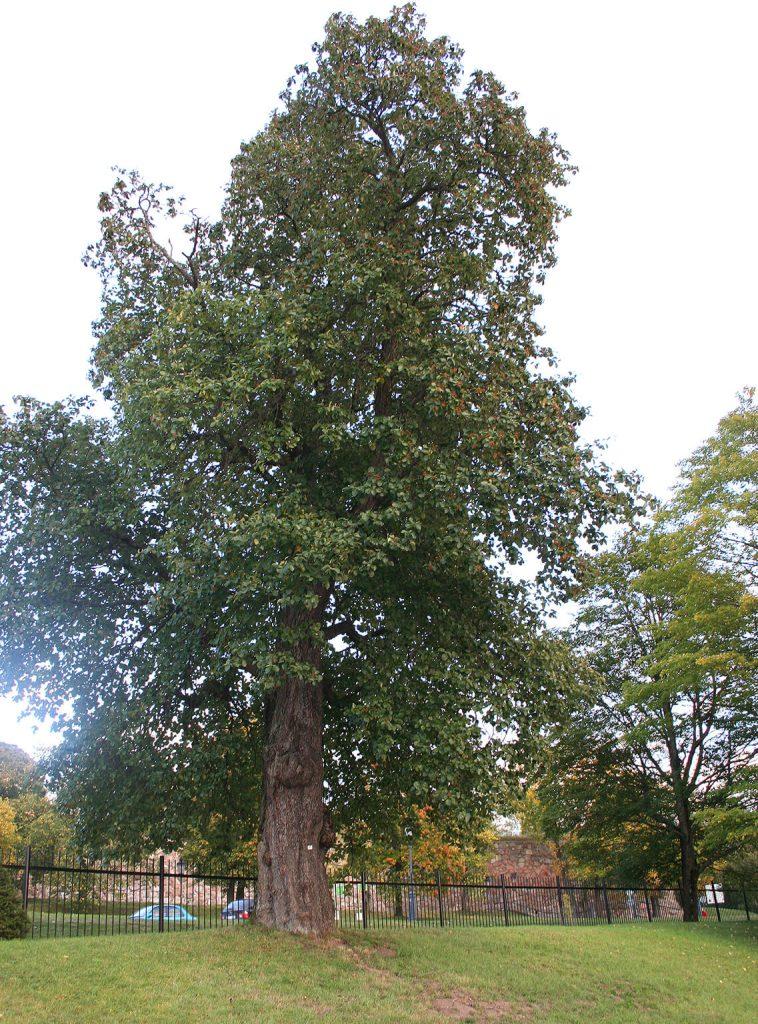 <i>Sorbus latifolia</i> wordt <i>Karpatiosorbus latifolia</i>