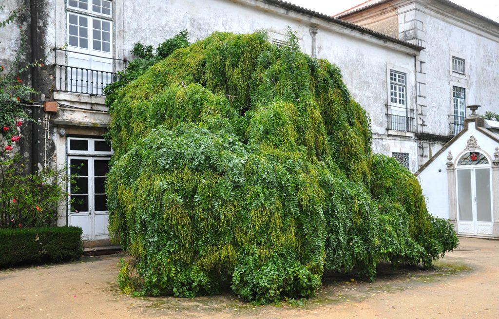 <i>Styphnolobium japonicum</i> 'Pendula' vól vruchten, in de Jardim Botanico d'Ajuda, Lissabon