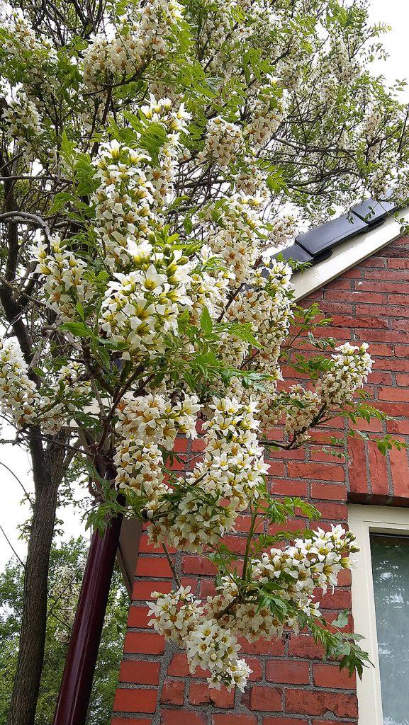 Tegen het huis van Anneke van Rhijn in De Punt <i>Xanthoceras sorbifolium</i>