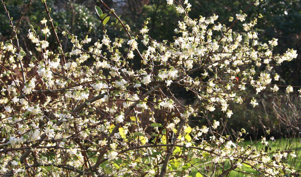 Uitbundige bloei van <i>Lonicera fragrantissima</i><br> Foto: Gert Fortgens