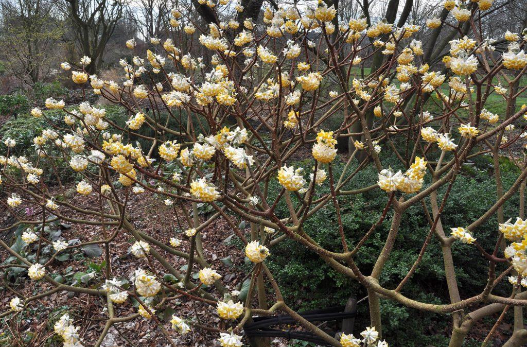Uitbundige winterbloei van <i>Edgeworthia chrysantha</i><br> Foto: Gert Fortgens