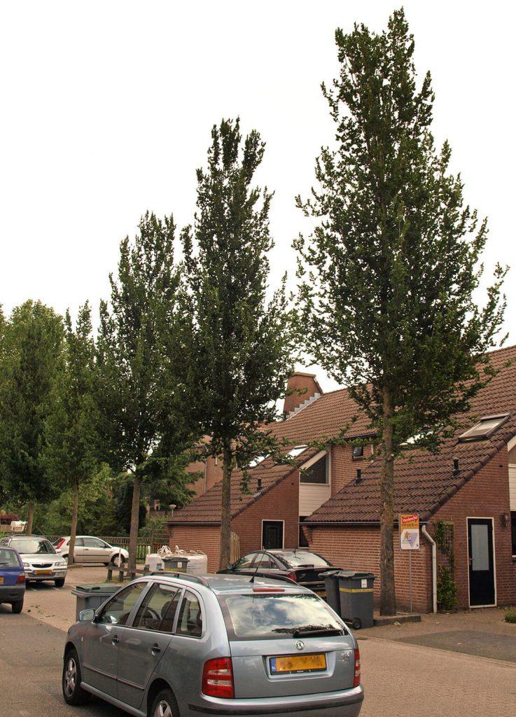 <i>Ulmus</i> 'Columella' is ook geschikt voor smallere straten