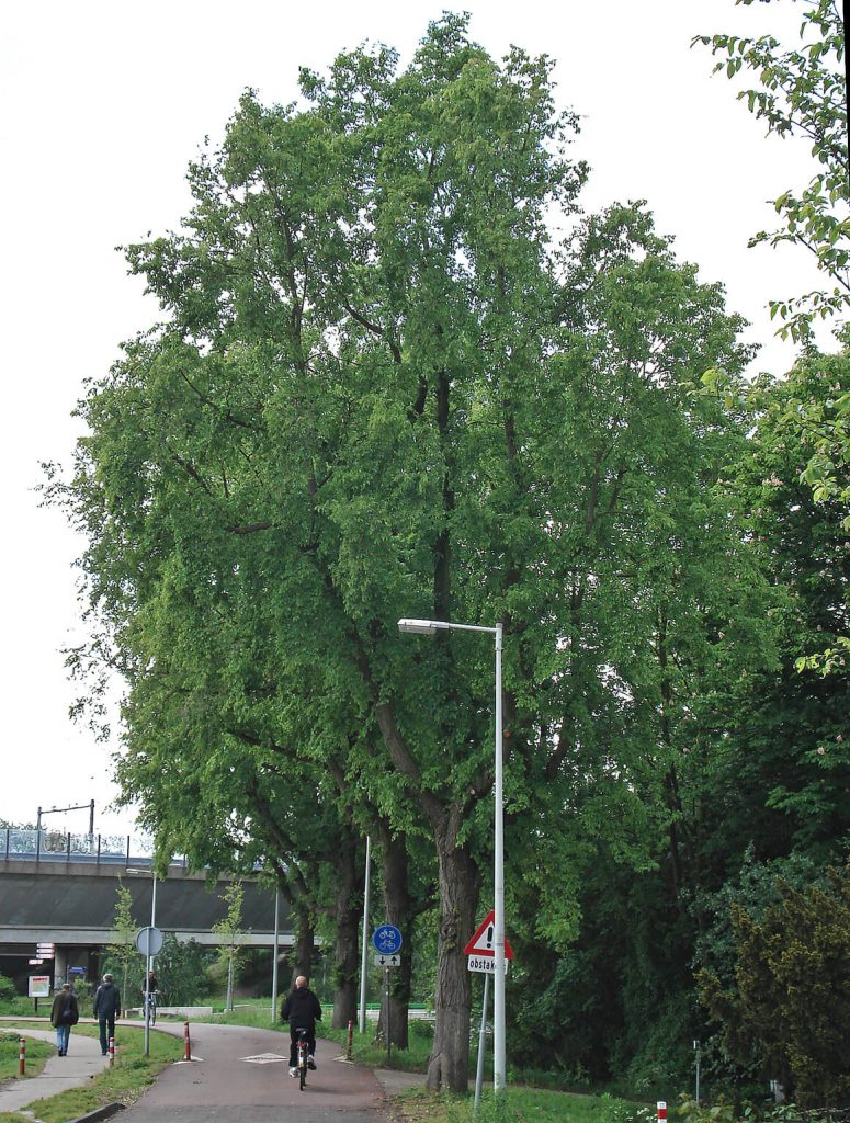<i>Ulmus</i> ×<i>hollandica</i> 'Christine Buisman'