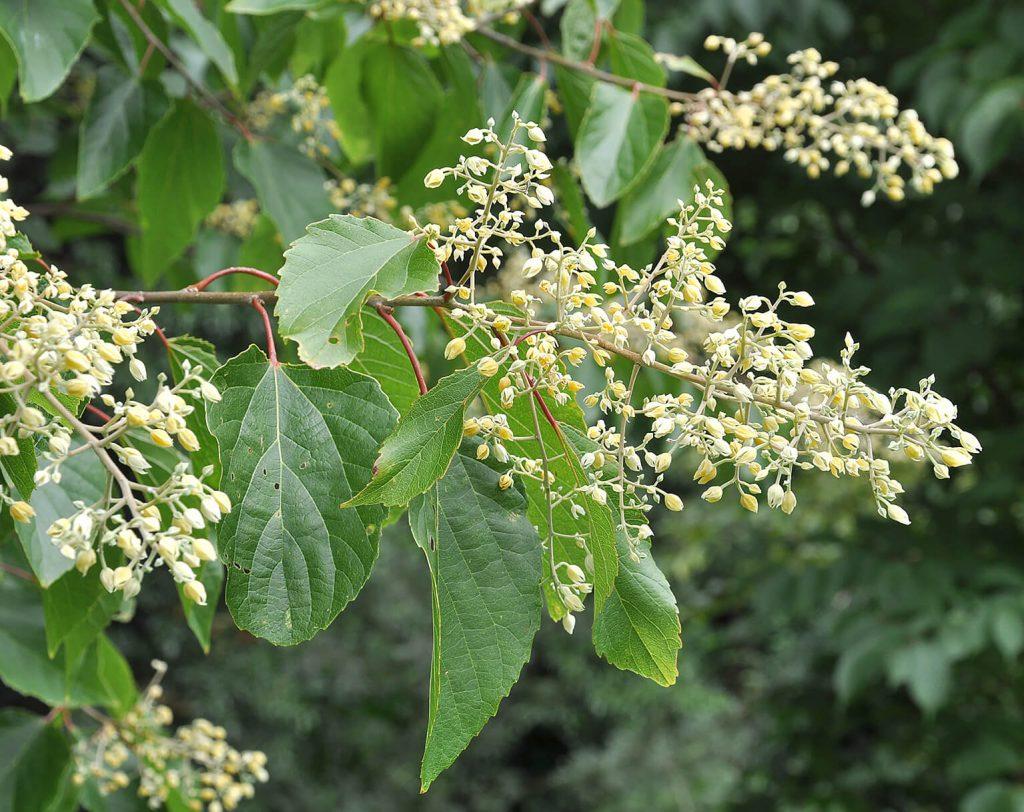 Van dichtbij zijn de rode bladsteel en de parelachtige bloesem van <em>Poliothyrsis sinensis</em> goed zichtbaar