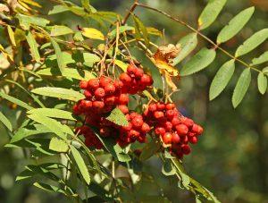 Vruchten van <i>Sorbus aucuparia</i>