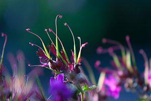 Zaadknoppen van <i>Geranium macrorrhizum</i> 'Bevan's Variety'
