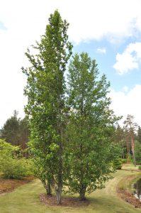 Zaailingen van <i>Alnus glutinosa</i> 'Pyramidalis' (Finland)